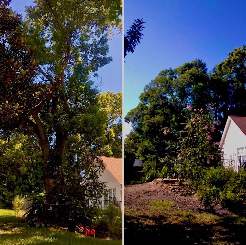 Large Camphor Tree Removal in Mount Dora, FL by Kats Tree Service