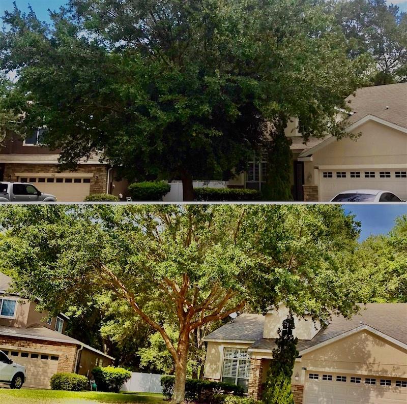Oak Tree Trimming in Eustis,FL by Kats Tree Service