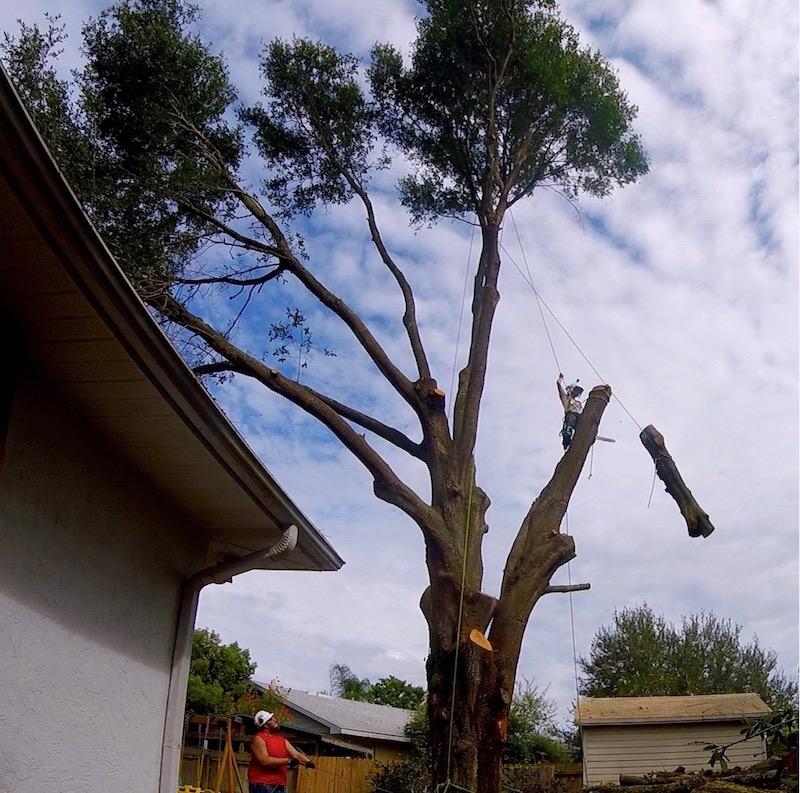 Large Oak Tree Removal in Eustis,FL by Kats Tree Service