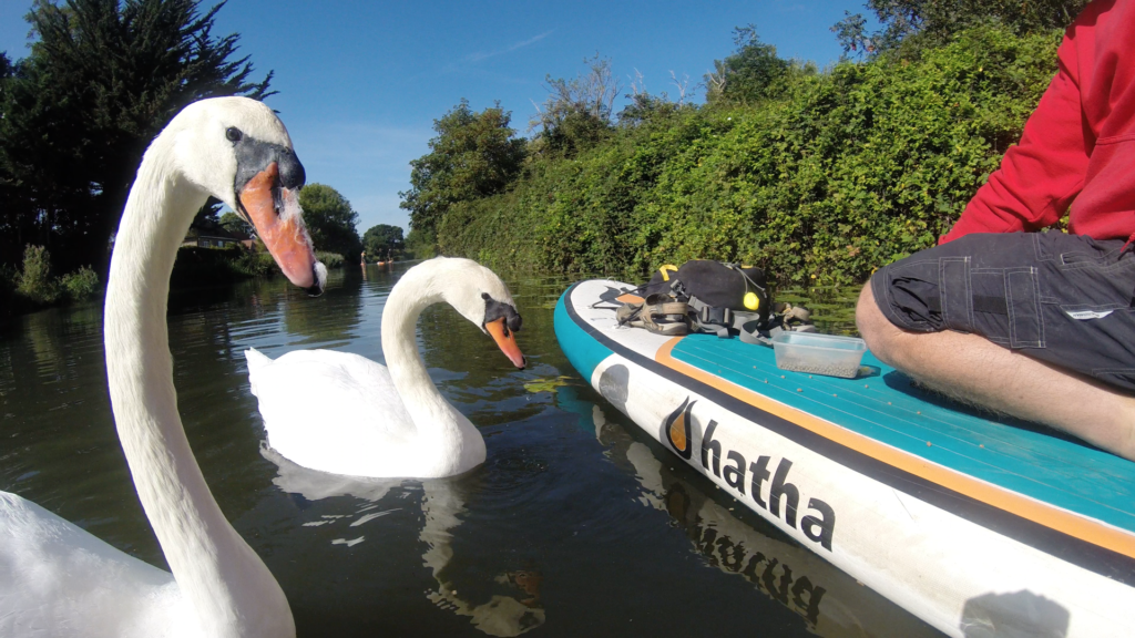 Swans checking out the Hatha Paddle board on Chichester Canal