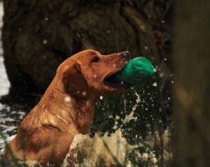 retriever gundog training Kent