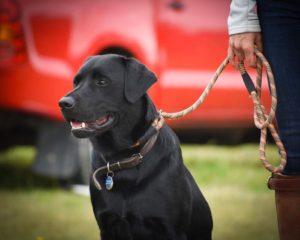 Gundog training Kent Sussex Surrey London