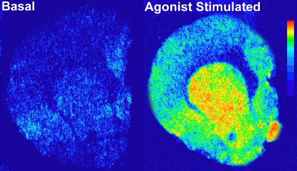 Autoradiograph of Basal & Agonist stimulated 35S-GTPgammS binding in rodent brain tissue (whole brain).