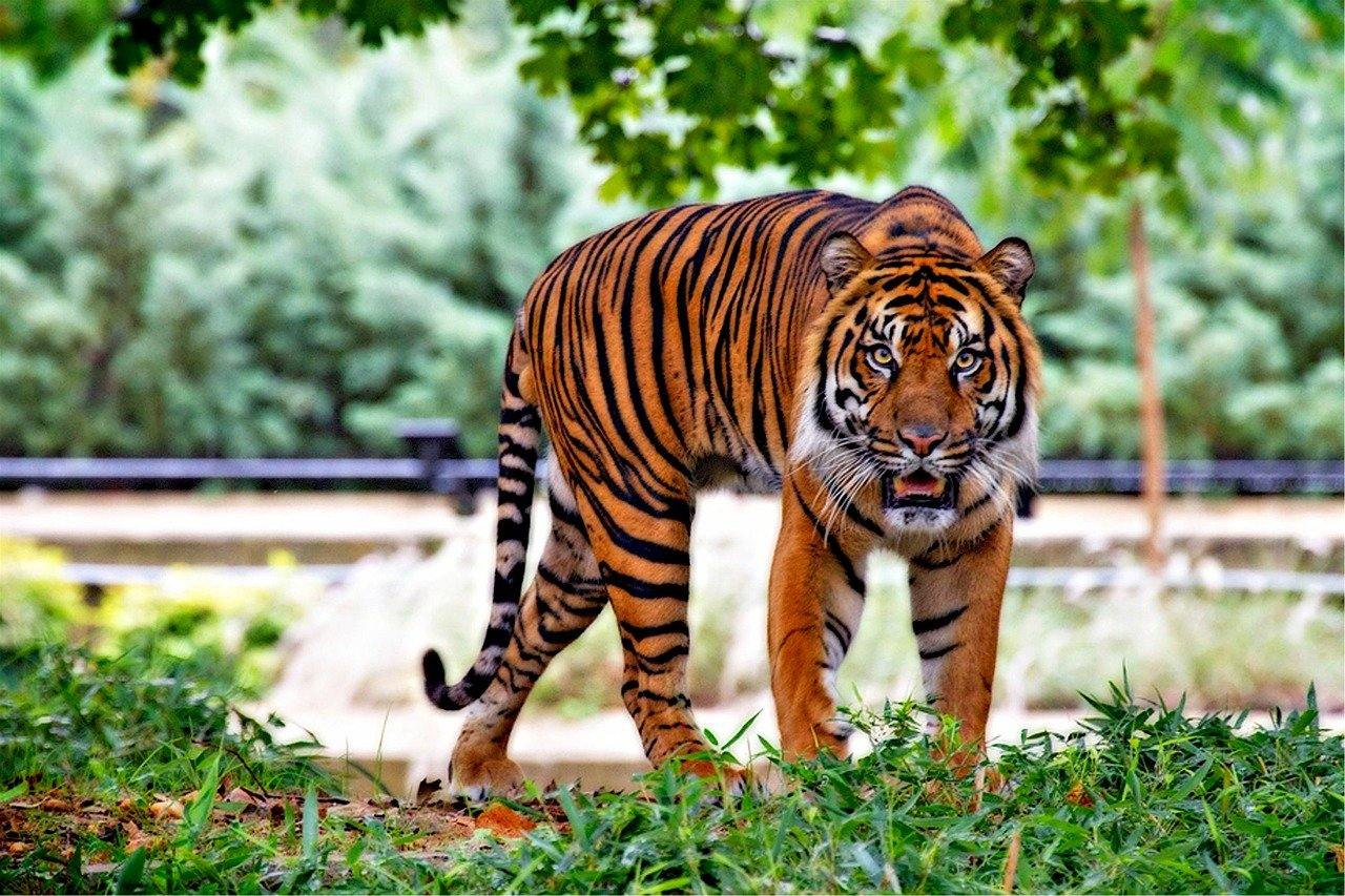 sumatran tiger, tiger, big cat