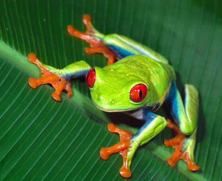 The Red Eyed Tree Frog from Central America