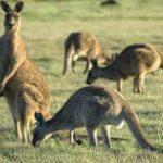 Annual Service Kangaroo