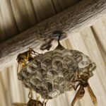 Pest Control Wasps