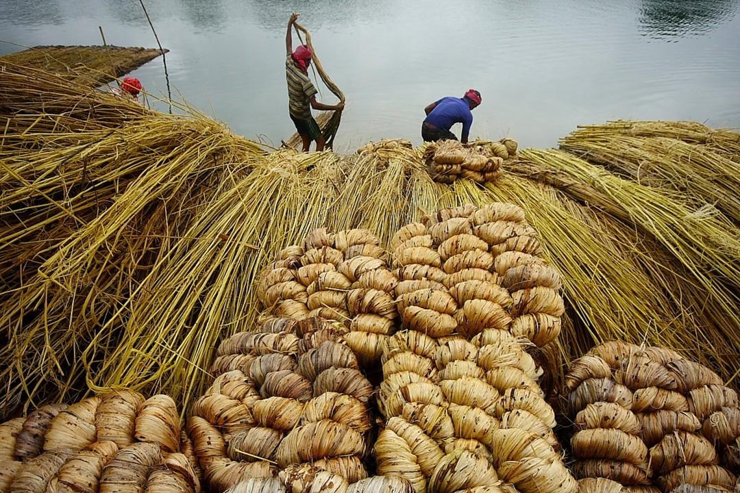 Jute Harvest, Krishnanagar, West Bengal, India | Photo by Samir Das/letsbewild.com