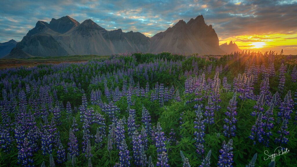 Sunset and lupines Vestrahorn Iceland