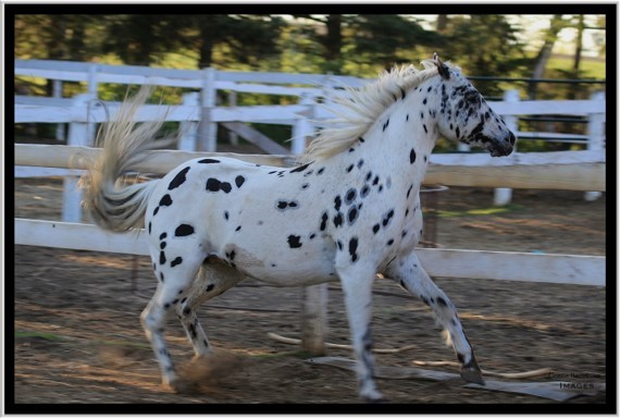 tbtra white spotted horse