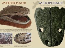 Brown and Black Metoposaurs