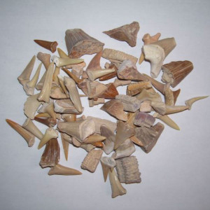 Various fossil teeth from Morocco