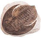 Holmia Trilobite