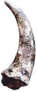 Blue Aetosaur horn replica