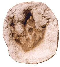 Glen Rose Acrocanthosaurus track replica