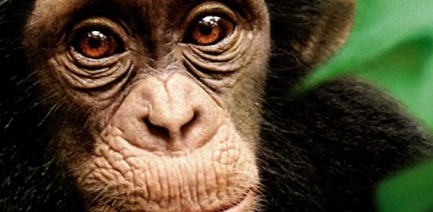 From Learning the Ropes to Losing his Momma: @Disneynature's Chimpanzee Shows the Raw Jungle life of Little Oscar