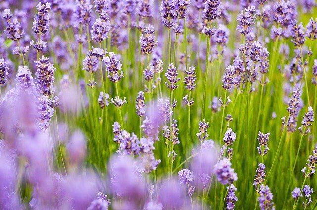lavender-back_640