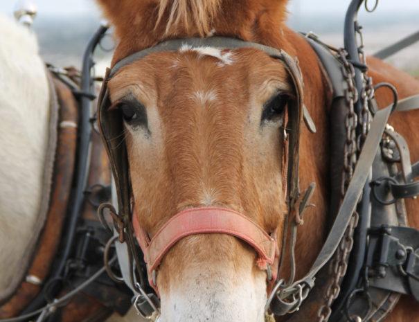 mules