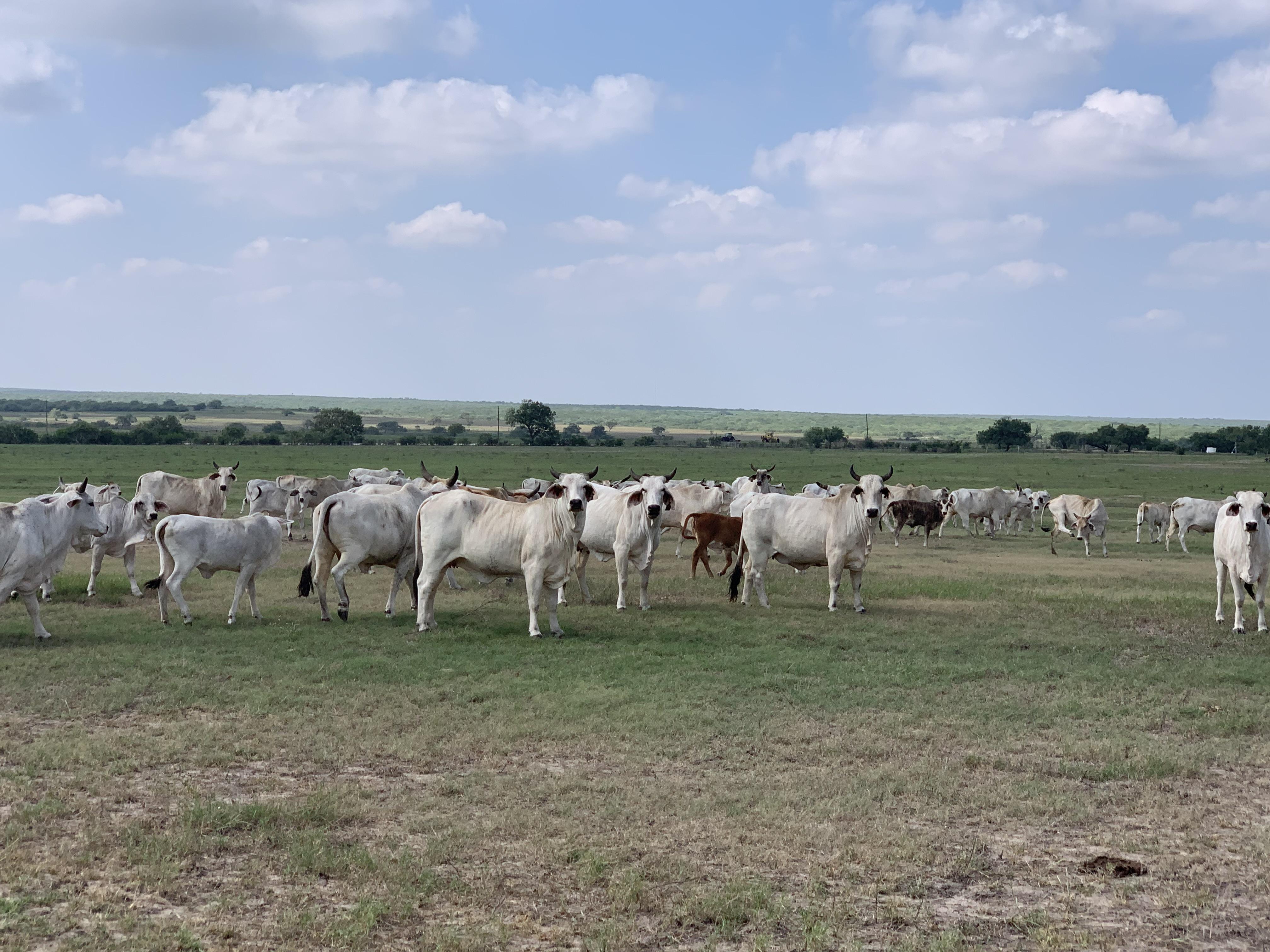 brahman herd sellout