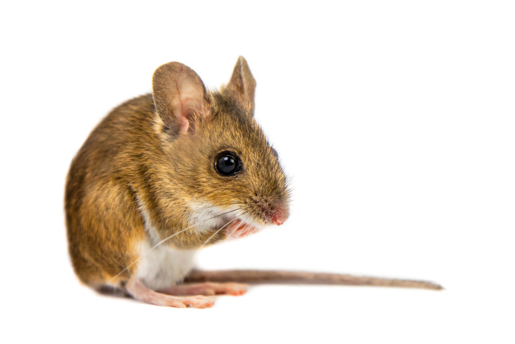A brouwn deer mouse sitting with a white background.
