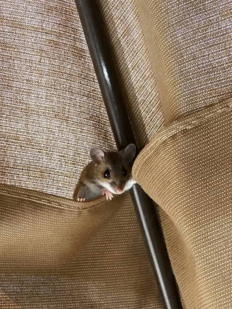 Mouse in a table umbrella.