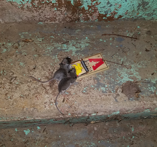 Two mice caught in the same trap