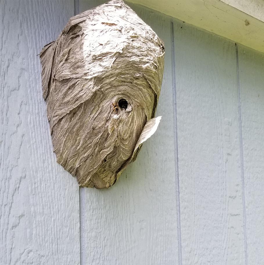 Yellow Jacket hive on birdhouse