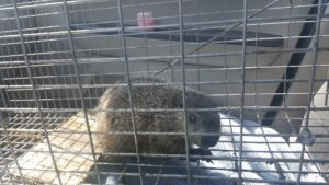 Young groundhog ready for the transfer to it's mother