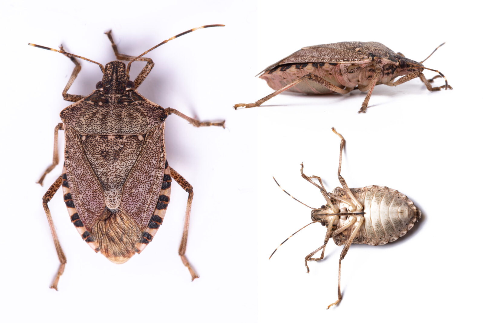Stink bug control services. Located in Connecticut