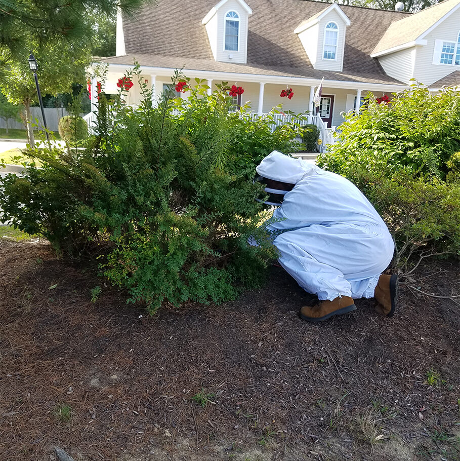 A bee exterminator in bee suit treating a bee hive in bush