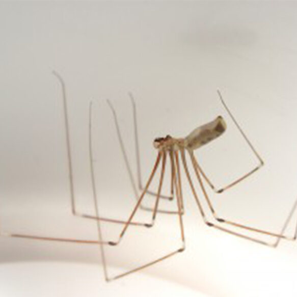 Picture of a cellar spider - Bee Smart Pest Control