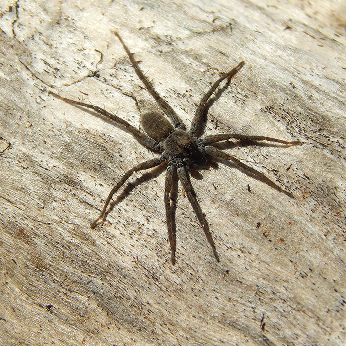 A large brown spider on a log