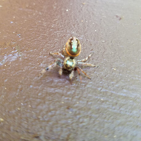 A colorful spider dancing on a table.