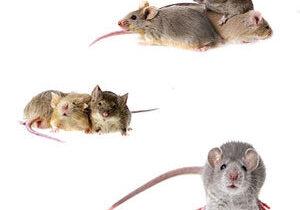 Mice & Rat