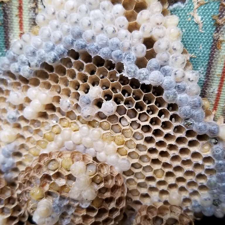 A picture of a hive. It shows all three stages of a yellow jackets life cycle. Eggs, larvae and adult form.