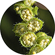 Closeup of ragweed flowers showing stamens and pollen