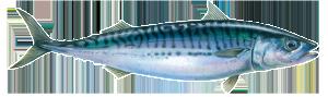 atlantic-mackerel