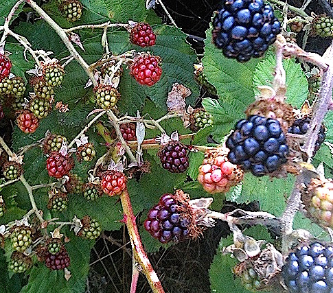 Blackberries | urbnspice.com