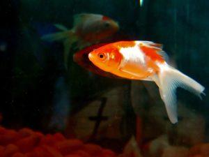 goldfish-390746_1280