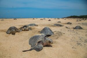 With an empty Brazilian beach (due to the Coronavirus), newly hatched sea turtles are making a comeback. Just one of the many things to be thankful for while you're stuck indoors binge-watching old episodes of Game of Thrones.