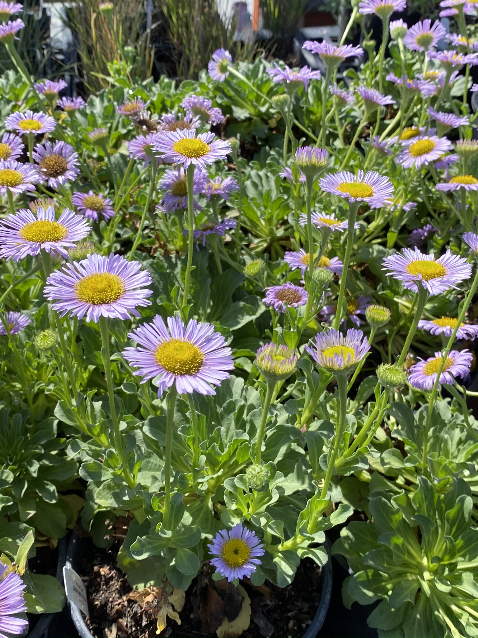 Erigeron glaucus (Seaside Daisy) at the CNPS Milo Baker Nursery