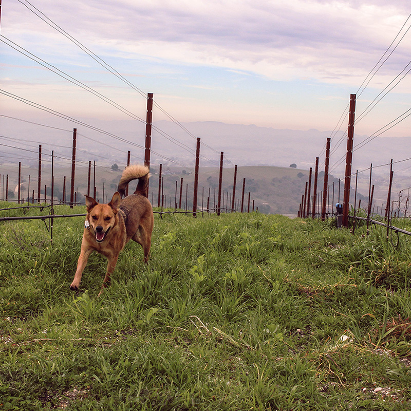 Dog in Caelesta Vineyard