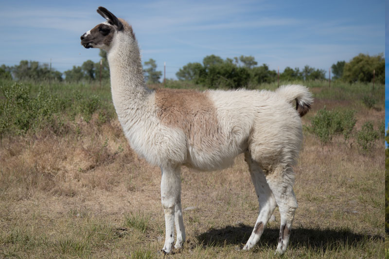 Chay - Breeding and hiking llamas
