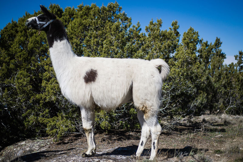 Cisco Wilderness Llama