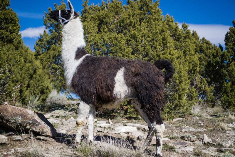 D-Jango Breeding Llama