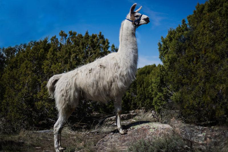George Pack Llama