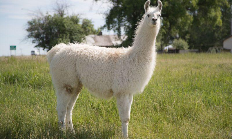 Joey WRTL Breeding Llama
