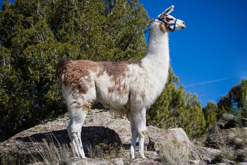 Opus Breeding Male Llama