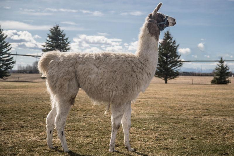 Percy Wilderness Ridge Trail Llama
