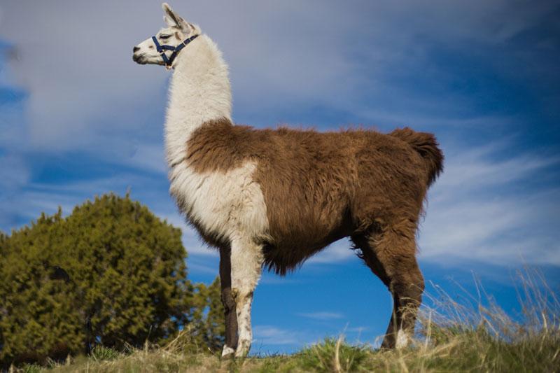 Quincy Breeding Llama
